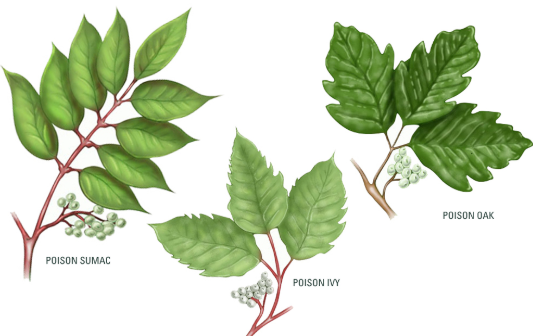 Natural Remedies For Poison Ivy, Oak And Sumac